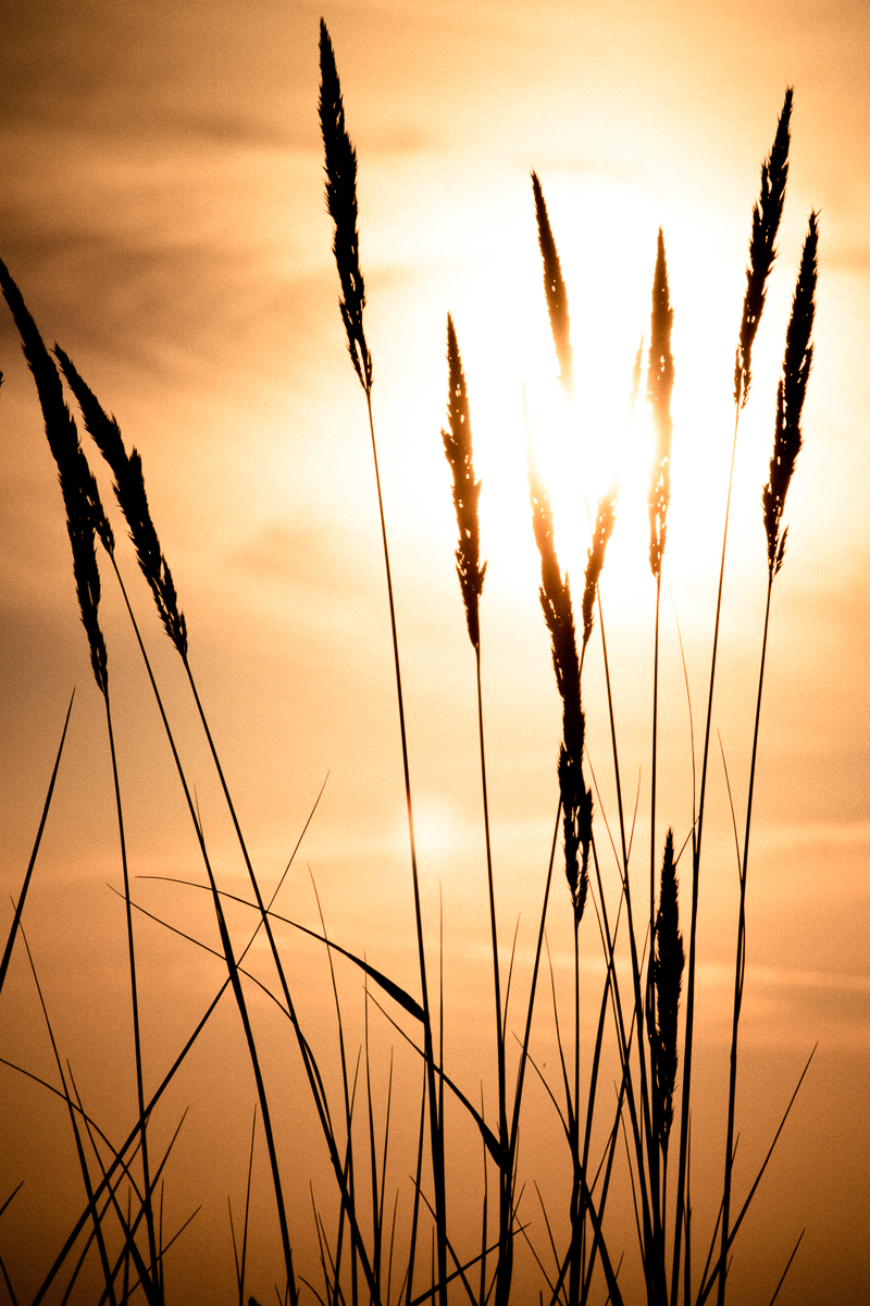 Reed In Sunset Via @Atisgailis