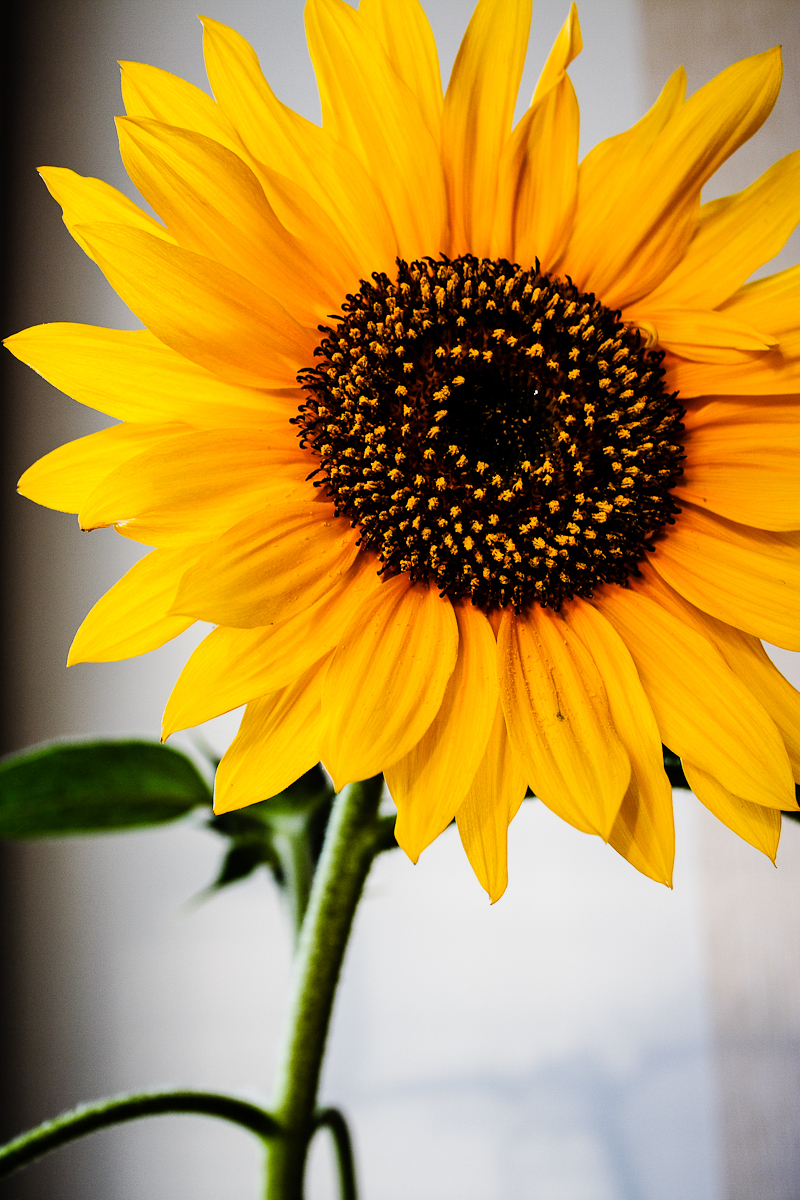 Sunflower Via @Atisgailis