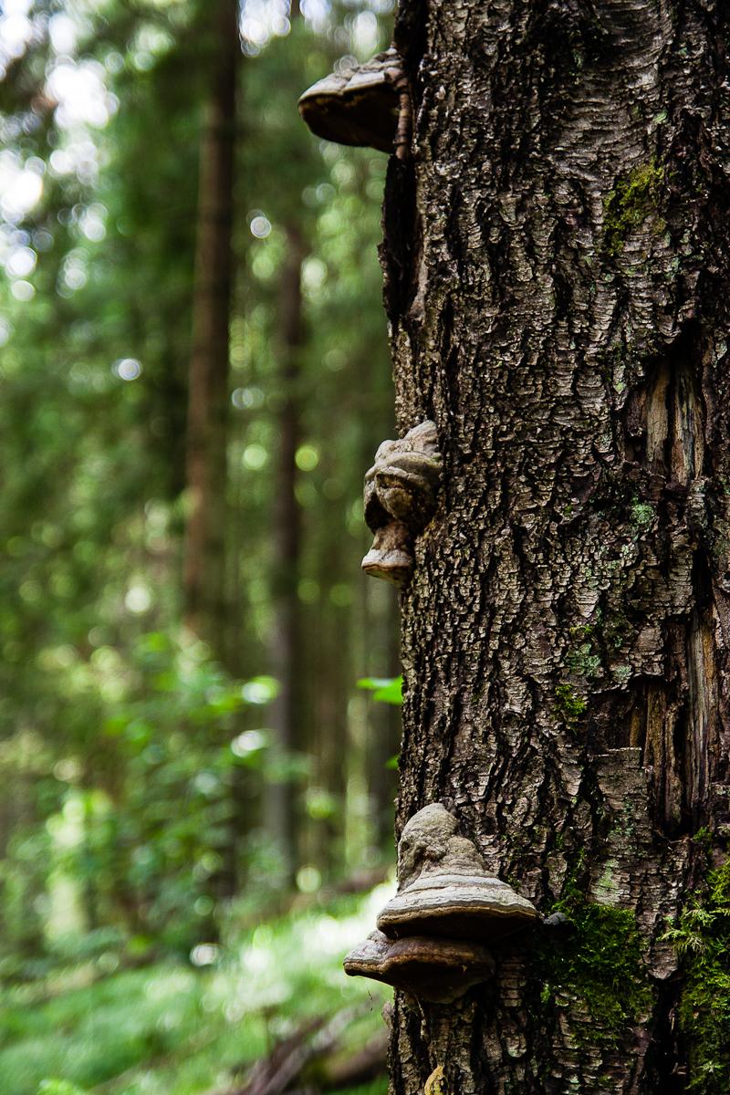 Tree With Agaric Mushrooms Via @Atisgailis